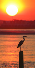 July Heat (dianne_stankiewicz) Tags: heron nature coastal water heat july sunrise sun summer