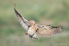 _9HB6753complete (Hilary Bralove) Tags: burrowingowls burrowingowl owl owls nikon nature colorado coloradobirds birds wildbirds birdsofprey bird