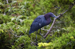 Little Blue Heron (Dr. Supertramp) Tags: heron littleblueheron oceancitynj oceancitynjbirds oceancitynjwildlife birding birds