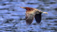 Green Heron Getaway (dianne_stankiewicz) Tags: nature wildlife bird heron flight greenheron coastal water