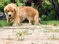Fetch (bztraining) Tags: henry toby bzdogs bztraining golden retriever