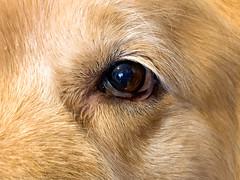 Look Into My Eyes (bztraining) Tags: henry bzdogs bztraining golden retriever 3652019 dogchal