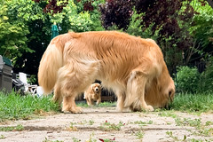 Framing (bztraining) Tags: henry toby bzdogs bztraining golden retriever dogchal