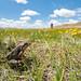 Plateau Brown Frog (Rana kukunoris)