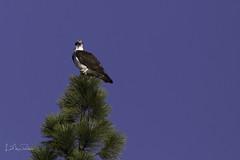 Perfect Perch (Lisa Roeder) Tags: osprey bird perchedbird wildlife nature