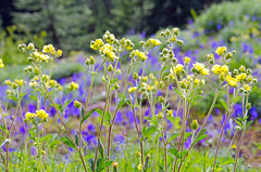 Layers [Explore] (Tom Fenske Photography) Tags: flowers wildflowers color nature hiking yellow purple green wilderness