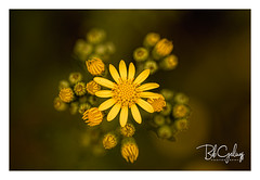 Master of my Kingdom (Bob Geilings) Tags: floral flower yellow green bokeh mood flora closeup macro weeds nature summer flowers insect