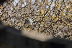 Empidonax wrightii Baird, 1858 (carlos mancilla) Tags: aves birds pájaros empidonaxwrightiibaird1858 empidonaxwrightii papamoscasbajacolita mosquerogris grayflycatcher passeriformes tyrannidae canoneos550d canoneosrebelt2i ef70300mmf456isusm