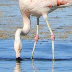 Chilean Flamingo at Salar de Atacama (Ruby 2417) Tags: flamingo bird wildlife nature water salt flats atacama flamenco chile andes fantastic