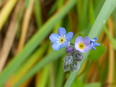 Vergissmeinnicht - Forget me not (Compy54) Tags: vergissmeinnicht forgetmenot