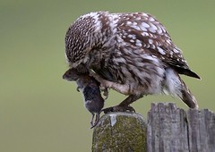 little owl (davy ren2) Tags: owl nature photograthy nikon d500