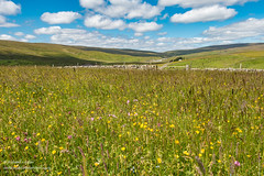 Hay Meadows at Lingy Hill Harwood Jul 2019 (Richard Laidler) Tags: aonb agriculture alliumursinum areaofoutstandingnaturalbeauty bigsky bluesky bright buildings clouds countydurham dappledshade farm farming farmland fells fine flowermeadows globalgeopark harwood haymeadow haymeadows hillfarm hills hillside landscape northeastengland northpennines northpenninesaonb pennine rural summer sunny sunshine teesdale teesdalelandscape upland upper upperteesdale whiteclouds whitewashed wildgarlic