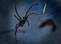 Serious Danger (johnsinclair8888) Tags: macromondays danger d850 macro blackwidow fear scream 105 dark night