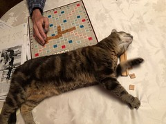 Scrabble Night (ruthlesscrab) Tags: cat katze gato chat kitty kitteh sasha boardgame scrabble