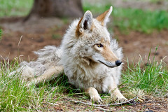 Coyote (acjudd) Tags: wildlife yellowstone coyote outdoors nature