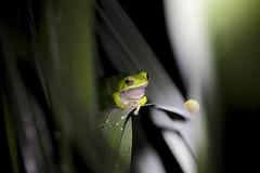 Rhacophorus arvalis (**Hu) Tags: treefrog rhacophorusarvalis frog taiwan rhacophorus กบต้นไม้ rainette 木のカエル rana arborícola カエル grenouille katak 諸羅樹蛙 台灣特有種