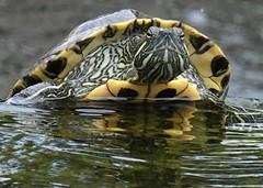 Pause (ANiceCupofTea) Tags: calabasas california pond turtle