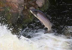 Leaping Salmon - Falls of Shin (Ally.Kemp) Tags: salmon leaping atlantic salar salmo lairg achany scottish scotland falls of shin 2019 migratory sutherland