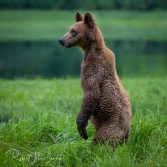 Young Lookout (~ Bob ~) Tags: wildlife bearsofinstagram khutzeymateen bc nikon wildlifephotography cute khutzlodge animalsoninstragram wildlifeplanet canada mammal britishcolumbia grizzly bear