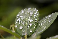 Rain droplets (_chloechappell) Tags: leaf macro leaves bokeh closeup rain water droplets nature canon canoncamera detail