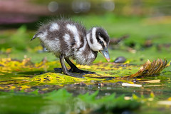 Chick of Lesser Whistling Duck [Explore] (BP Chua) Tags: gardensbythebay pond duck duckling baby chick nikon d850 600mm nature wild wildlife animal