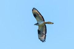 Honey Buzzard........ (klythawk) Tags: honeybuzzard pernisapivorus wildlife nature birdofprey summer sunlight blue grey black white nikon d500 sigma 150600mmc nottinghamshire klythawk