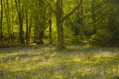 Radura blu / Blue clearing (Winford, Isle of Wight, United Kingdom) (AndreaPucci) Tags: isleofwight bluebells uk forest andreapucci spring winford