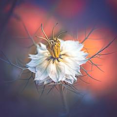Nigella (Dhina A) Tags: sony a7rii ilce7rm2 a7r2 a7r jupiter 135mm f35 jupiter37a135mmf35 12blades 37a prime m42 jupiter37a nigella flower bokeh summer