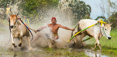 My Dirty Weekend (paulcore8118) Tags: tanahdatar westsumatra indonesia pacujawi race cow bull dirty mud happyplanet asiafavorites
