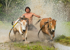 My Dirty Weekend (paulcore8118) Tags: tanahdatar westsumatra indonesia pacujawi race cow bull dirty mud