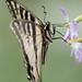 DSC_5416.jpg Western Tiger Swallowtail, Pajaro River