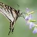 DSC_5417.jpg Western Tiger Swallowtail, Pajaro River