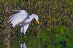 Great Egret (Steve Creek) Tags: birds greategret sequoyahnationalwildliferefuge oklahoma fujifilmxt3