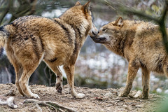 Two wolves (Tambako the Jaguar) Tags: wolf canid canine mongolian dog two together interacting action standing portrait branches vegetation winter zürich zoo switzerland nikon d5