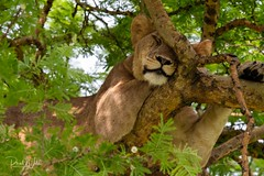Sleeping it off (iamfisheye) Tags: africa june2019 vr queenelizabethnationalpark nikon f4 pf uganda d500 300mm afs gorillaschimpsofugandaphototour dx ishasha adventurevacationsafaris imagesofwildlife
