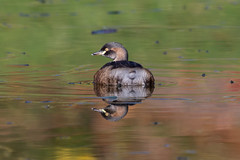 Mirror Mirror (RoosterMan64) Tags: australasiangrebe australia australiannativebird bird nsw nature nurragingyreserve waterbird wildlife