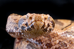 Ovophis tonkinensis [Mountain Pit Viper] (kkchome) Tags: herping herp herpetology reptile serpent snake ovophis tonkinensis mountain pitviper asia china hong kong nature wildlife fauna macro