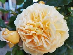Photo of Yellow Rose