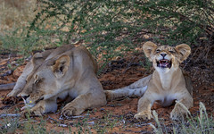 Lion (petraherdlitschke) Tags: africa afrika animals tiere löwen lion kgalagadi wildlife wildlifephotography nature naturephotography canon canonef70200 outdoors outofafrica cat gamedrive wild