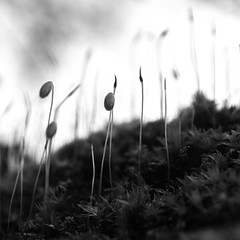 micro nature (Francisco (PortoPortugal)) Tags: 1272019 20190206fpbo9216edit monochrome monocromático pretoebranco blackandwhite bw nb pb natureza nature musgo moss micro macro quadrada square