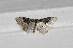 Least Carpet ... Idaea rusticata (AndyorDij) Tags: leastcarpet idaearusticata geometridae nationalmothweek andrewdejardin england empingham empinghammoths rutland uk unitedkingdom insect lepidoptera moth