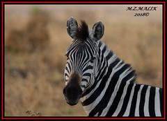 COMMON ZEBRA (Equus burchelli).....MASAI MARA......SEPT 2018 (M Z Malik) Tags: nikon d800e 400mmf28gedvr kenya africa safari wildlife masaimara keekoroklodge exoticafricanwildlife zebras ngc npc