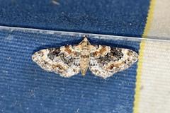 Foxglove Pug ... Eupithecia pulchellata (AndyorDij) Tags: foxglovepug eupitheciapulchellata geometridae nationalmothweek andrewdejardin england empingham empinghammoths rutland uk unitedkingdom insect lepidoptera moth