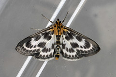 Small Magpie ... Anania hortulata (AndyorDij) Tags: smallmagpie ananiahortulata nationalmothweek andrewdejardin england empingham empinghammoths rutland uk unitedkingdom insect lepidoptera moth