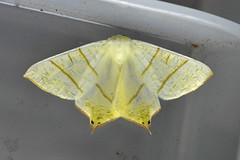 Swallow-tailed Moth ...Ourapteryx sambucaria (AndyorDij) Tags: swallowtailedmoth ourapteryxsambucaria geometridae nationalmothweek andrewdejardin england empingham empinghammoths rutland uk unitedkingdom insect lepidoptera moth