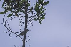 NETTARINO VERDE   ---   REICHENBACH'S SUNBIRD (Ezio Donati is ) Tags: uccelli birds animali animals natura nature alberi trees foresta forest acqua water cielo sky westafrica costadavorio areasanpedro focefiumelanero