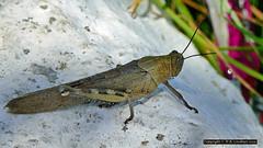 Cricket (bluetoonloon) Tags: bluetoonloon kalamaki zakynthos zante greece insect cricket explore explored