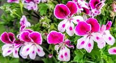 (perogilfotos) Tags: floresyjardines flowers flor floral flores flower naturaleza natura natural nature color colour macro makro garden geranio geranium planta plant