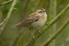 Sedge warbler (robin elliott photography) Tags: sedgewarbler warbler bird birds birdwatch stodmarsh nature naturephotography nikon d850 wild wildlife