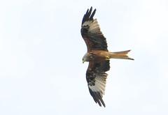 DSC_4322 (PeaTJay) Tags: nikond300s tamron reading lowerearley berkshire outdoors nature birds birdsofprey redkite